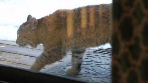 Рысь не понимает, почему домашняя кошка так агрессивна