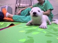 Зоопарк показал как растет полярный медвеженок
