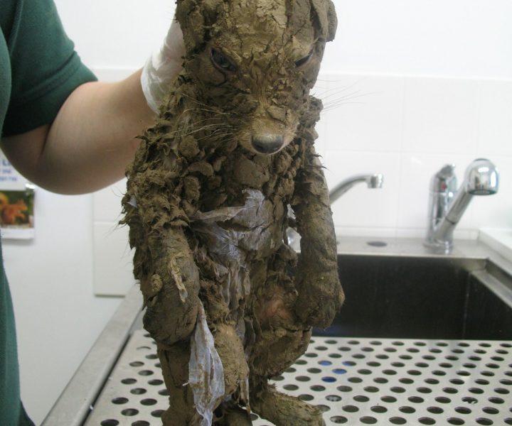 Неведомая зверушка в комке грязи: отмыли и умилились