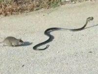 Крыса кунг-фу: посмотрите как мастерски мама спасает своего малыша от змеи