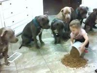 Малышка высыпала на пол корм. Смотрите на реакцию голодных питбулей!