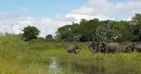 Шокирующая сцена – на глазах туристов крокодил напал на слоненка