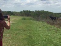 Дикая лошадь атаковала аллигатора на глазах изумленных туристов