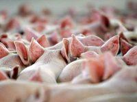 Почему евреи и мусульмане не едят свинину? Этому есть научное обоснование