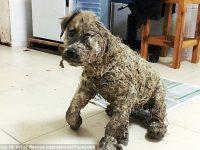 Удивительное преображение щенка, которого облили клеем
