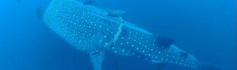 Китовая акула схватила дайвера за руку: необычные кадры