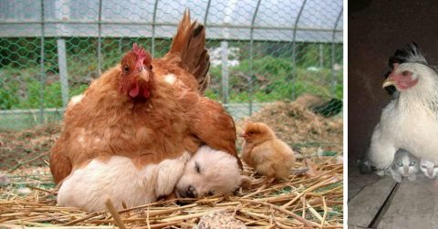 24 фотографии, подтверждающие, что куры – лучшие мамы в животном мире