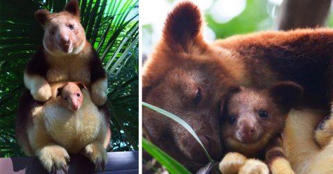 20 снимков древесных кенгуру, которые невозможно просматривать без улыбки