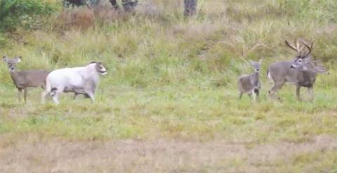 Наглый баран попытался напасть на оленя, но очень быстро раскаялся в своем поведении