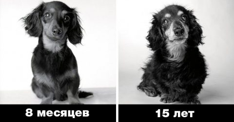 «Собачьи годы» – как взрослеют собаки: интересный фотопроект Аманды Джонс