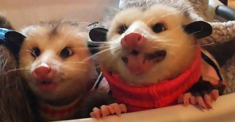 Если вы ненавидите чавканье за едой, эти два опоссума-сладкоежки изменят ваше мнение!