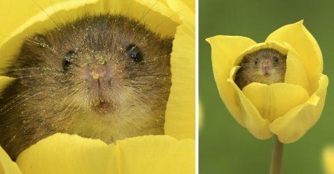 Маленькие мышки в тюльпанах. Эти малютки покорят ваше сердце!
