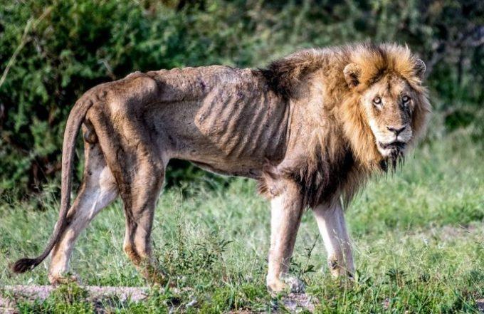 Вот что происходит, когда льва изгоняют из прайда. Жуткие, но правдивые снимки