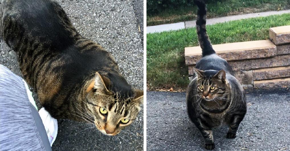 Девушка выложила фото кота с невероятной мускулатурой. Причина таких габаритов животного вас удивит